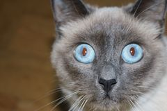 Blue eyed cat. Mitzies eyes and nose Stock Image