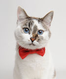 Blue-eyed cat in a red bow tie. White cat with blue eyes wearing a red bow tie Stock Images