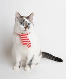 Blue-eyed cat in a red and white striped scarf. Pretty cat in wearing white and red scarf Stock Photography