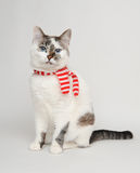 Blue-eyed cat in a red and white striped scarf. Pretty cat in wearing white and red scarf Stock Photo