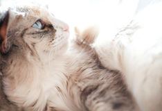 Blue eyed cat resting Stock Photography