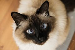 Blue eyed cat. Blue eyed siam lazzy cute feline cat royalty free stock photography