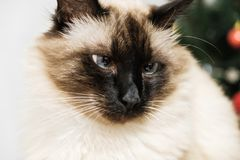 Blue eyed cat. Blue eyed siam lazzy cute pet cat royalty free stock photography