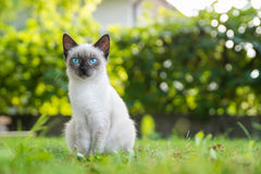 Blue eyed cat Royalty Free Stock Image