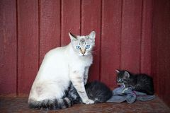 Cat and kittens. The blue-eyed cat sits next to the little kittens Royalty Free Stock Photography