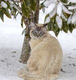 Blue-eyed Cat Under a Tree in the Snow. A pretty Siamese, Balinese mixed breed cat with blue eyes sitting under a tree in the snow, he`s not looking very happy stock photos