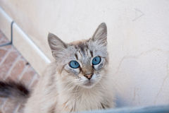 Blue Eyed Cat Stock Photos