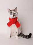 Blue-eyed cat wearing a red knitted scarf on a light background. Blue-eyed white cat in a red knitted scarf on a light background Stock Photography