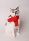 Blue-eyed cat wearing a red knitted scarf on a light background. Blue-eyed white cat in a red knitted scarf on a light background Stock Photo