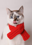 Blue-eyed cat wearing a red knitted scarf on a light background. Blue-eyed white cat in a red knitted scarf on a light background Royalty Free Stock Photography