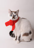 Blue-eyed cat wearing a red knitted scarf on a light background. Blue-eyed white cat in a red knitted scarf on a light background Stock Image