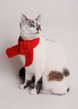 Blue-eyed cat wearing a red knitted scarf on a light background. Blue-eyed white cat in a red knitted scarf on a light background Royalty Free Stock Photo