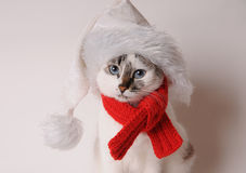 Blue-eyed cat wearing a red knitted scarf and santa's hat on a light background. Blue-eyed white cat in a red knitted scarf on a light background Royalty Free Stock Photos