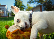 Blue Eyed Chihuahua Royalty Free Stock Photo