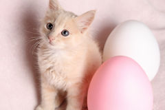 Blue-eyed, cream Easter kitten. Baby kitten with blue eyes and a cream and white coat with a pink background, with giant easter eggs Royalty Free Stock Image