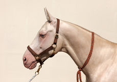 Blue-eyed Cremello akhal-teke horse Royalty Free Stock Images