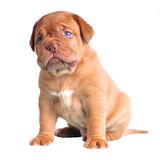 Blue-Eyed Cute Puppy. Cute Blue-Eyed Puppy sitting, isolated on white Royalty Free Stock Photography