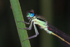 Blue-eyed Damselfly Royalty Free Stock Images