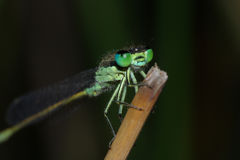 Blue-eyed Damselfly Stock Image