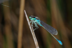 Blue-eyed Damselfly Stock Photo