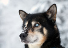 Blue-eyed dog Stock Image