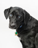 Blue-eyed dog Stock Photo