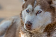 Blue eyed dog looking at you Stock Photo