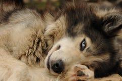 Blue-eyed dog looks like a wolf. Royalty Free Stock Image