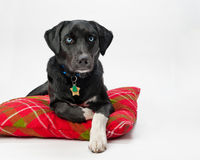 Blue eyed dog on pillow Royalty Free Stock Photo