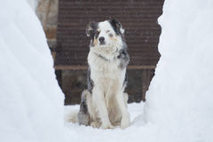 Blue eyed dog on the snow background Royalty Free Stock Photo
