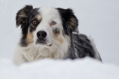 Blue eyed dog on the snow background Royalty Free Stock Photography