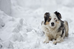 Blue eyed dog on the snow background Stock Photos