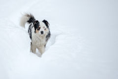 Blue eyed dog on the snow background Royalty Free Stock Photos