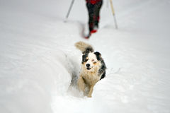 Blue eyed dog on the snow background Royalty Free Stock Photo