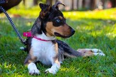 Blue eyed dog and a sunday walk stock images
