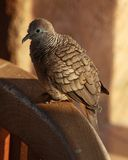 Blue-eyed Dove Stock Photo