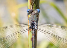 Blue eyed dragonfly on stem Royalty Free Stock Images
