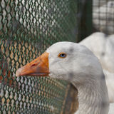 Blue eyed duck Stock Images