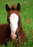 Blue Eyed Foal in Orange Wildflowers. Chestnut foal with crystal blue eyes lying in lush green grass among orange Indian Paintbrush wildflowers, ranch in north Stock Photo