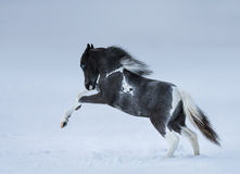 Blue-eyed foal playing on snow field royalty free stock photography