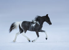Blue-eyed foal trotting on snow field royalty free stock photos
