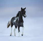 Blue-eyed foal walks on snowfield Royalty Free Stock Photo