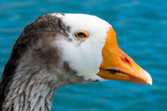 Blue eyed goose Stock Photo