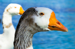 Blue eyed goose Royalty Free Stock Photography
