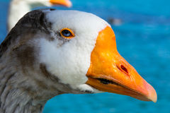 Blue eyed goose Royalty Free Stock Photos