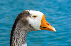 Blue eyed goose Royalty Free Stock Images