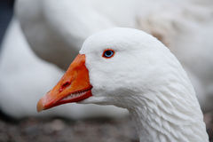 Blue Eyed Goose portrait Royalty Free Stock Image