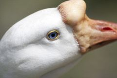 Blue Eyed Goose. Up-close and personal portrait of a white goose, with his blue eye in sharp focus stock images