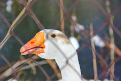 Blue eyed goose Stock Images