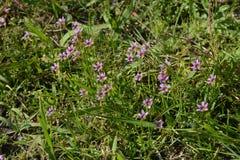 Blue-eyed grass. Little flower that clumps of `blue-eyed grass stock photo